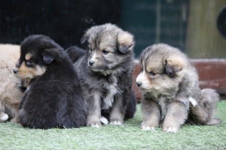 New Himalayan Puppies (Indies) - cute puppies