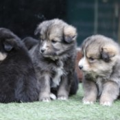 New Himalayan Puppies (Indies) - cute puppies