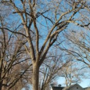 Selling a Walnut Tree for Lumber - tree