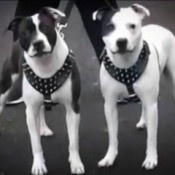 Is My Dog a Pit Bull? - black and white photo of two dogs