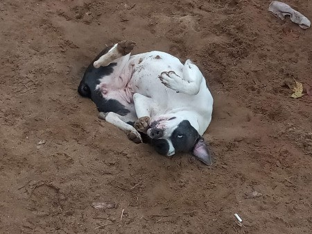 Savage (Razor Edge Pit Bull Terrier)