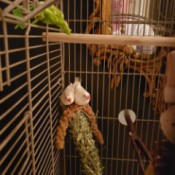 Determining the Gender of White Zebra Finches - two white finches in a cage