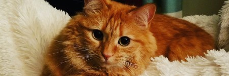 Clara (Orange Tabby) - closeup of cat