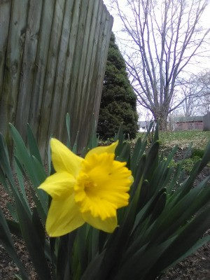 A daffodil next to a wooden fence.