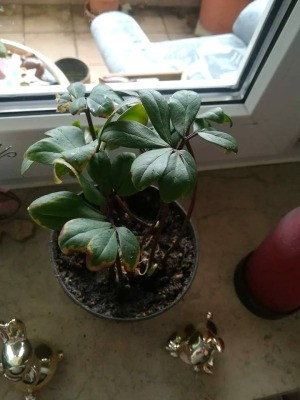 Identifying a Houseplant - foliage houseplant with dark green leaves