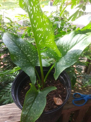 Identifying a Garden Plant - spotted leaf calla lily