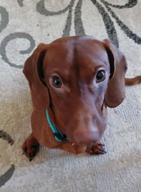 Sammy (Mini Dachshund) - closeup of red mini Dachshund