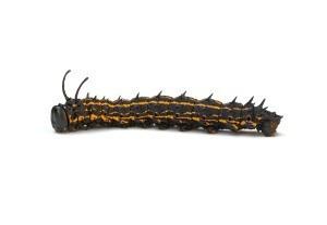 Spiny oakworm moth caterpillar