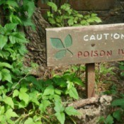 Caution Poison Ivy sign surrounded by growing Toxicodendron radicans.