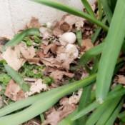 Found 2 Duck Eggs - eggs in the garden