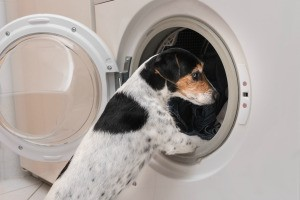 Dog looking into an open clothes dryer.