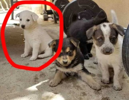 Does My Puppy Look Like a White German Shepherd?
