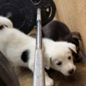 Does My Puppy Look Like a White German Shepherd? - white puppy with a black spot on its side
