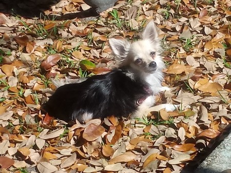 Ginger (Long Haired Chihuahua) - Ginger in the backyard sitting in leaves