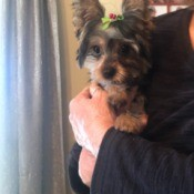 Puppy is Pooping in Her Crate - woman holding a Yorkie puppy