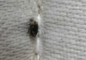 Identifying a Bug - tan and black bug/beetle