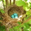 A robin's nest with three blue eggs.