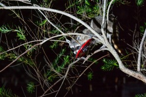 A raccoon getting into a hummingbird feeder.