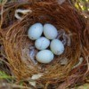 A nest with 5 finch eggs.