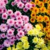 A collection of different colored chrysanthemum.