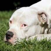 A white pitbull laying in the grass.