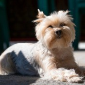 A Yorkshire terrier lying on carpet in the sun.