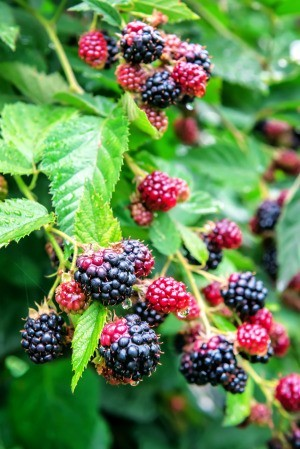 Blackberry bushes with ripening berries.