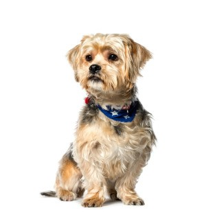 A shih tzu and Yorkshire terrier mix on a white background.