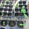 Using Flower Trays As Seedling Planters - seedlings in multipack nursery trays