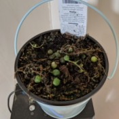 String of Pearls Plant Is Dying - very unhappy plant