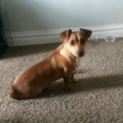 What Breed Is My Dog? - long brown dog with folded over ears