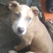 Is My Pit Bull Puppy Full Blooded? - tan and white puppy