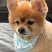 Honeybun (Pomeranian) - closeup of dog with scarf around her neck