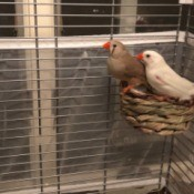 Finches Not Sitting on Their Eggs - two finches in a cage