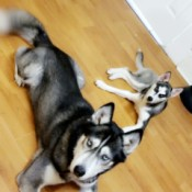 What Breed Is My Husky? two dogs lying on the floor
