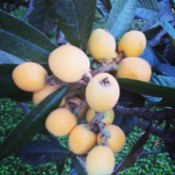 Japanese Loquat Tree - with fruit