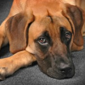Finding a Missing Dog - brown dog with dark muzzle