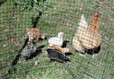 Feeding the Chickens - hen and chicks behind a wire pen