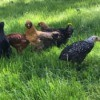 Our New Girls - flock of young backyard hens
