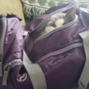 Peekaboo Annie - kitty in backpack