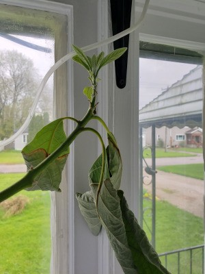 Saving an Avocado Plant  - tree with wilted leaves and new growth at the top