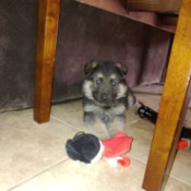 Is My Puppy a Purebred German Shepherd? - puppy under a table