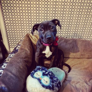 Is My Puppy a Full Blooded Pit Bull?  - black puppy with white on chest