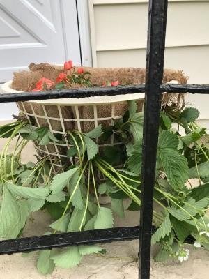 Making a Strawberry Planter from a Laundry Basket - planted basket sitting on stoop