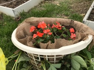 Making a Strawberry Planter from a Laundry Basket - add more soil as needed and plant your choice of plants on top