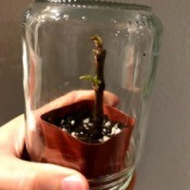 A houseplant with an upside down jar over the top.
