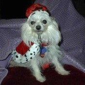 Pudgy (Yorkie/Pomeranian) - dog wearing a hat and cape