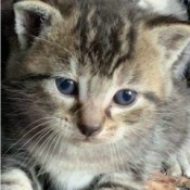 What Breed Is My Kitten? - black, tan, gray, and white tabby colored kitten