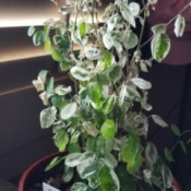 Identifying a Houseplant - tall houseplant with green and white leaves