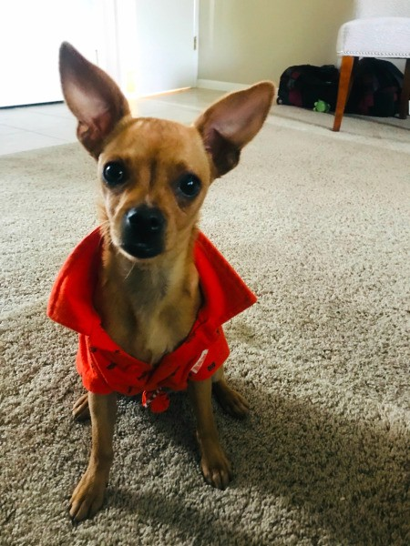 What Breed Is My Chihuahua Mixed With? - brown Chi wearing an orange jacket